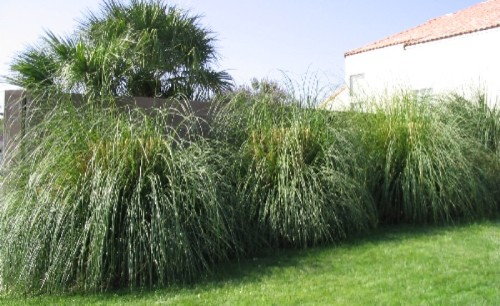 Desert Landscaping - Ornamental Grass